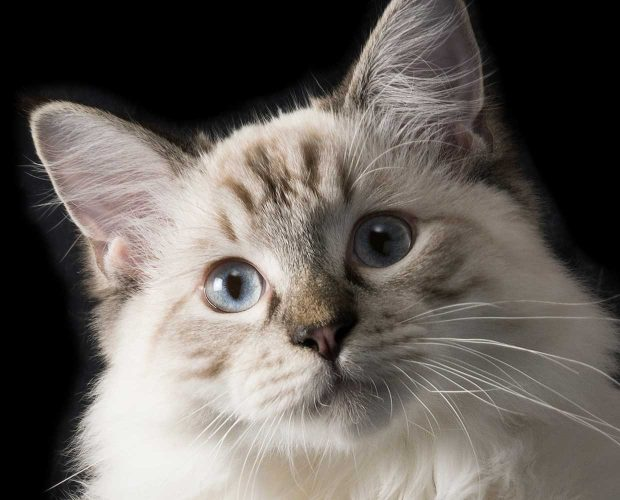 Close up of a ragdoll