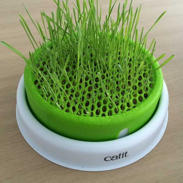 Grass sprouting out of the Catit Senses 2.0 Grass Planter
