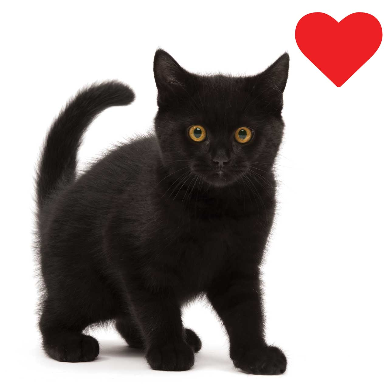 Cute black kitten with a heart next to it