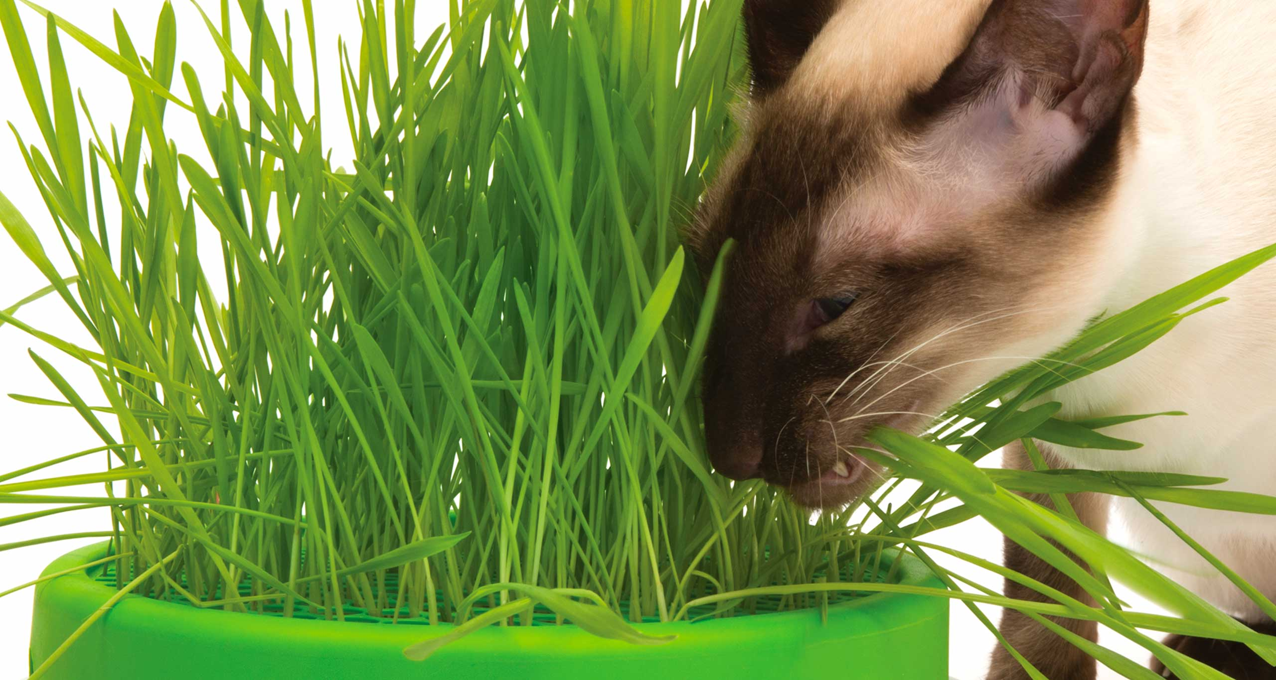 Siamese cat eating grass from the Senses 2.0 Grass Planter