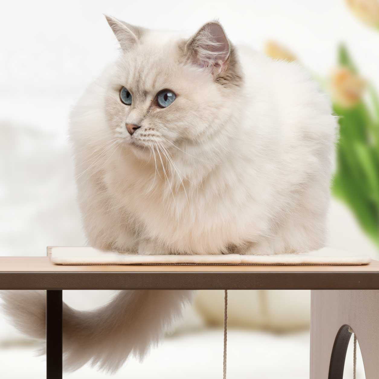 White, blue-eyed cat relaxing on top of a Vesper Box Large