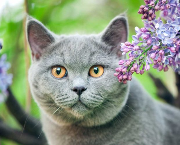 british shorthair surrounded by flowers
