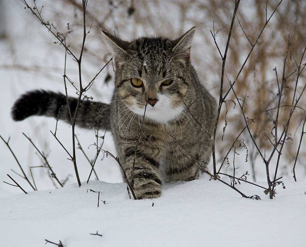 How to keep your cat safe during winter - cat in snow