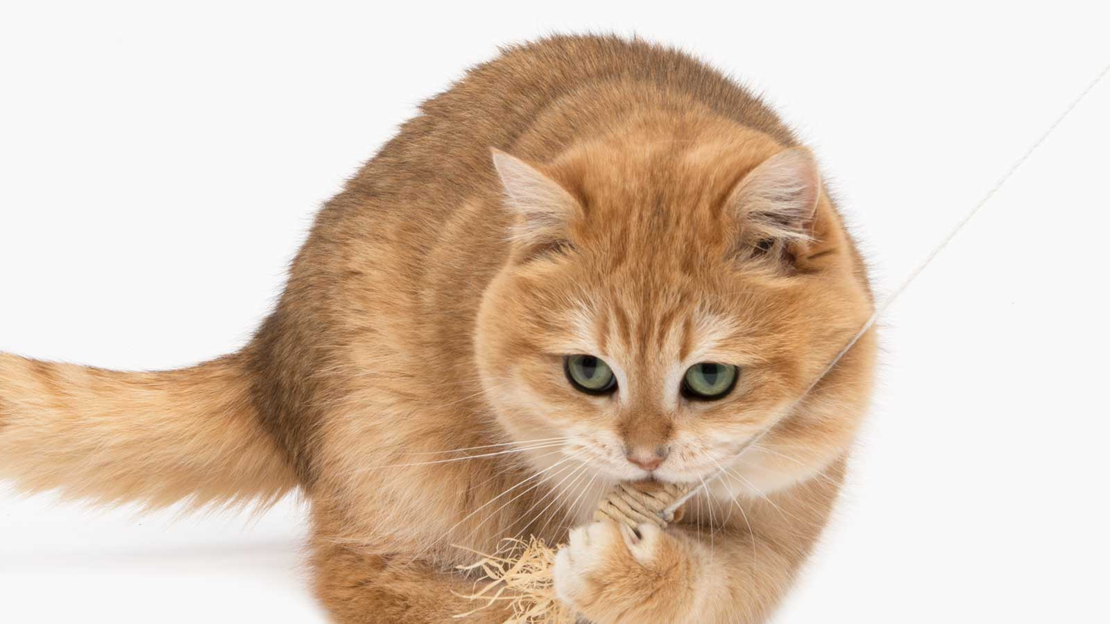 Ginger cat playing with a cat toy